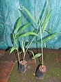 Alpinia caerulea-2-bsi-yercaud-salem-India.jpg