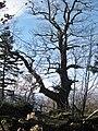 Alte Eiche über den Battertfelsen Baden-Baden, Schwarzwald, black forest, forêt noire - panoramio.jpg