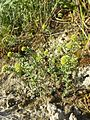 Alyssum alyssoides sl8.jpg