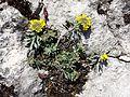Alyssum montanum subsp. gmelinii sl6.jpg