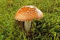 Amanita muscaria (37532576422).jpg