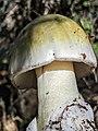 Amanita phalloides 60804626.jpg