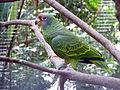 Amazona brasiliensis -Parque das Aves, Foz do Iguacu, Brazil-8a (1).jpg