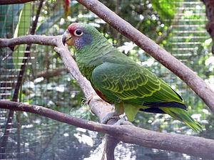 Red-tailed amazon - At Parque das Aves, Foz do Iguacu, Brazil