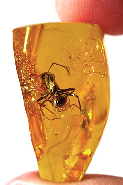 Ant preserved in amber - About 7 mm long.
