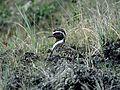 American Golden Plover (Pluvialis dominica) (2586847617).jpg