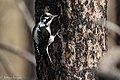 American Three-toed Woodpecker Signal Burn Gila NF NM 2017-10-18 09-02-49 (39043083702).jpg