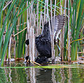 American coots mating.jpg