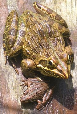 Amietia angolensis (common river frog).jpg