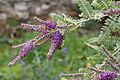 Amorpha nana - fleurs-2.jpg