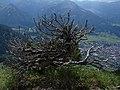 An der Baumgrenze Oberstdorf Alpen - panoramio.jpg