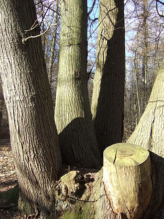 Coppicing - Overstood sweet chestnut coppice stool, Banstead Woods, Surrey