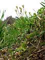 Androsace elongata sl15.jpg