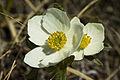 Anemone narcissiflora (7833362232).jpg