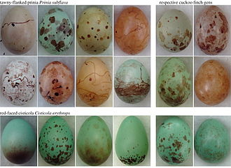 Cuckoo-finch - Cuckoo-finch eggs (right two columns) closely resemble the eggs of their host species (tawny-flanked prinia and red-faced cisticola shown).