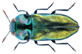 Anthaxia fulgurans (Schrank, 1789) Male.png
