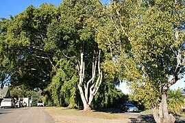 Anzac Avenue Memorial Trees (2007).jpg
