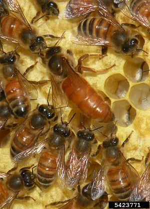 Group selection - Social behavior in honeybees is explained by kin selection: their haplodiploid inheritance system makes workers very closely related to their queen (centre).