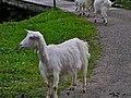 Appenzell Goat.jpg