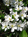 Apple blossom (Malus domestica) 21.JPG