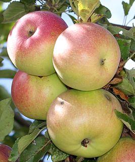 McIntosh (apple) National apple of Canada