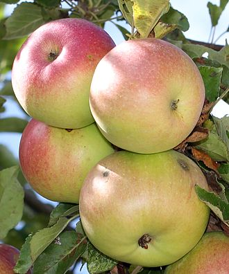McIntosh (apple) - McIntosh apples on a tree