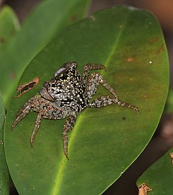 Aratus pisonii on leaf.jpg