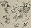 Arboretum et fruticetum britannicum, or - The trees and shrubs of Britain, native and foreign, hardy and half-hardy, pictorially and botanically delineated, and scientifically and popularly described (14780889931).jpg