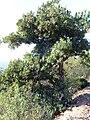 Arbutus unedo habitus 2009November15 SierraMadrona.jpg