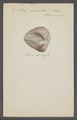 Arca rhombea - - Print - Iconographia Zoologica - Special Collections University of Amsterdam - UBAINV0274 076 04 0019.tif