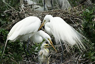 Plume hunting - A great egret family; plume birds were often shot while sitting on their nests.