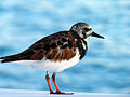 Arenaria interpres -Anegada, British Virgin Islands -perching on a boat-8e.jpg