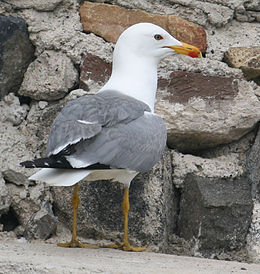 Armenian gull near Sevanavank, rear view.jpg