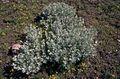 Artemisia rigida.jpg