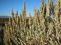 Artemisia tridentata vaseyana (5034479102).jpg