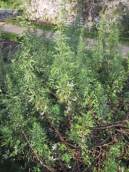 Artemisia vulgaris (armoise)