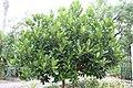 Artocarpus heterophyllus Black Gold 1zz.jpg