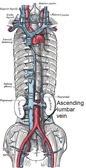 Ascending lumbar vein - The venae cavae and azygos veins with their tributaries.