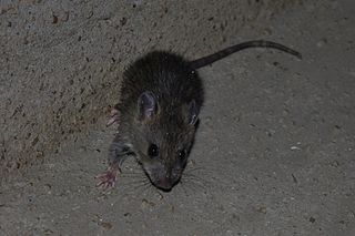 Asian House Rat (Rattus tanezumi) - maybe? by Thomas Brown