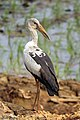 Asian Openbill Stork (24031934244).jpg