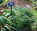 Asparagus setaceus - Shinjuku Gyo-en Greenhouse - Tokyo, Japan - DSC05933.jpg
