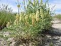 Astragalus canadensis (5143697211).jpg