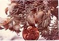 Astragalus purshii var. ophiogenes herbarium in SW Idaho 2.jpg