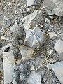 Astrophytum myriostigma (5706355877).jpg