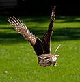 Athene noctua -captive -flying-8a.jpg