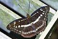 Athyma asura baelia dorsal view 20140830.jpg