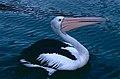 Australian Pelican (Pelecanus conspicillatus) (9822637455).jpg