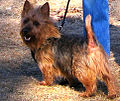 Australian Terrier adult male.jpg