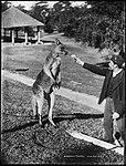 Australian kangaroo (2362668419).jpg