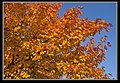 Autumn Leaves begin to fall-042 (5675493344).jpg